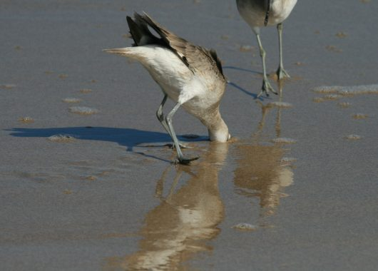 A grey and white bird stands on the shoreline of a beach with its head buried in the sand.